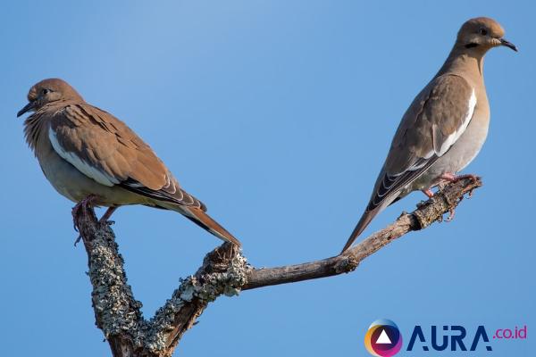 Cara Membedakan Burung Perkutut Jantan dan Betina dengan benar